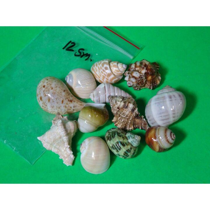 Fancy Shells small