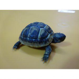 Herman's Tortoise baby