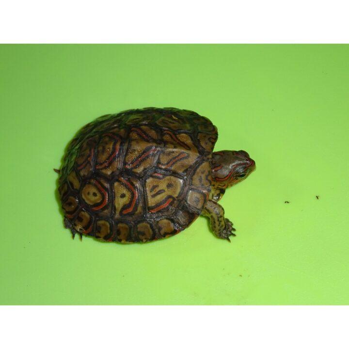 Ornate Wood Turtle c b baby