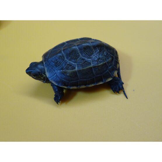 Reeves Turtle baby