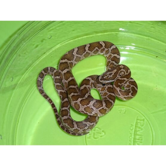 Rusty Rat Snake baby