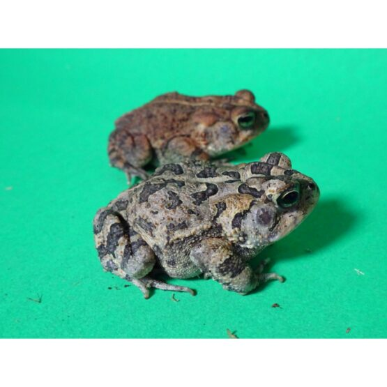 Southern Toad adult
