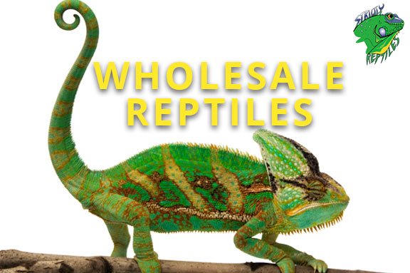 Wholesale Reptiles For Sale - Strictly Reptiles