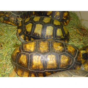 Yellow Foot Tortoise 14-15 inch females