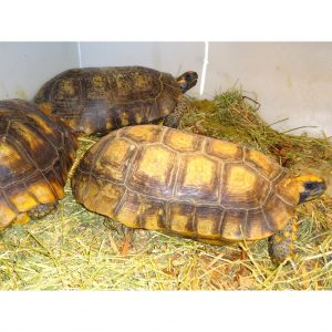 Yellow Foot Tortoise 14-15 inch males