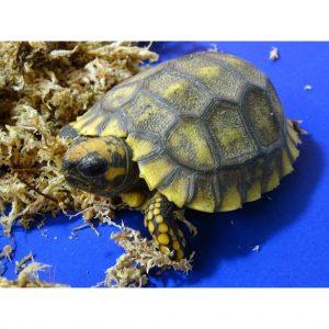 Yellow Foot Tortoise baby
