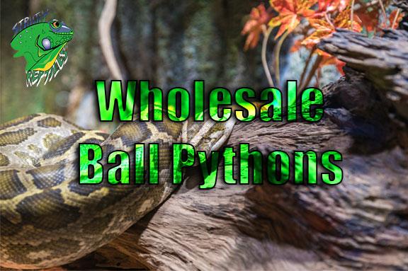 Wholesale Ball Pythons