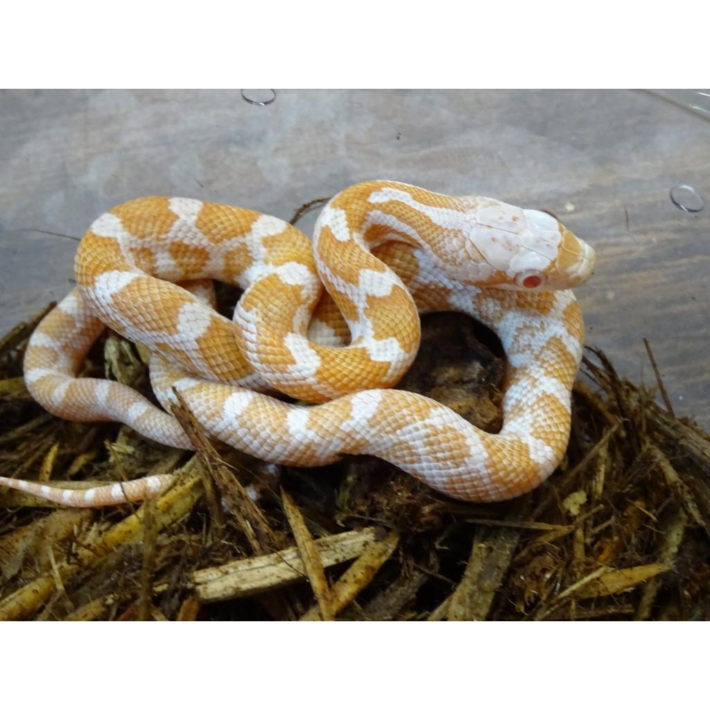 Albino Texas Rat Snake Baby Strictly Reptiles Inc