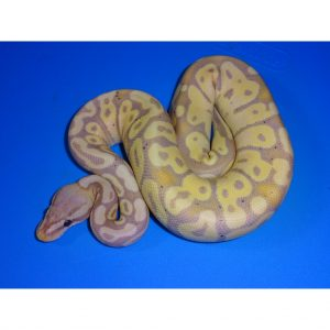Banana Ball Python male baby