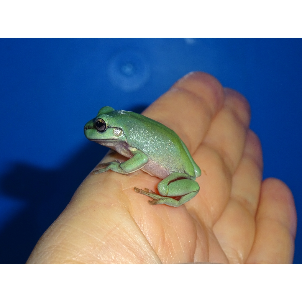 Australian White's Tree Frog - cb baby - Strictly Reptiles