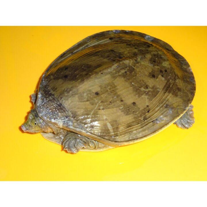 Flap Shell Softshell Turtle