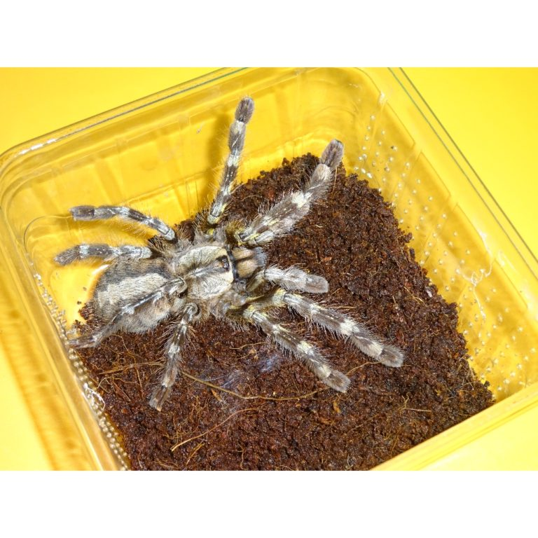 Indian Ornamental 5 inch female