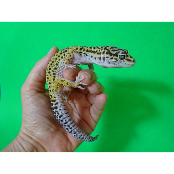 Leopard Gecko adult males