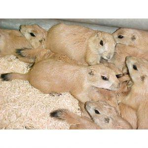 Prairie Dog babies