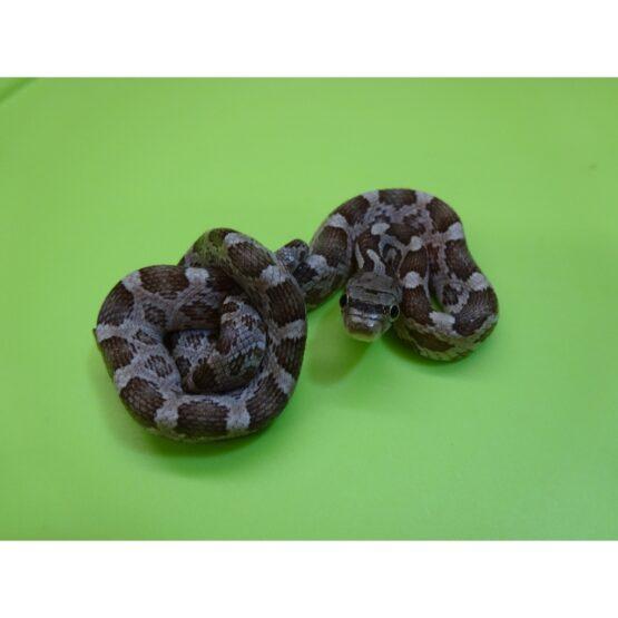 Texas Rat snake baby
