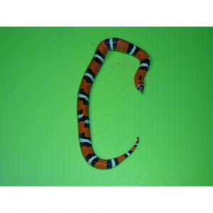 Tricolor Hognose small
