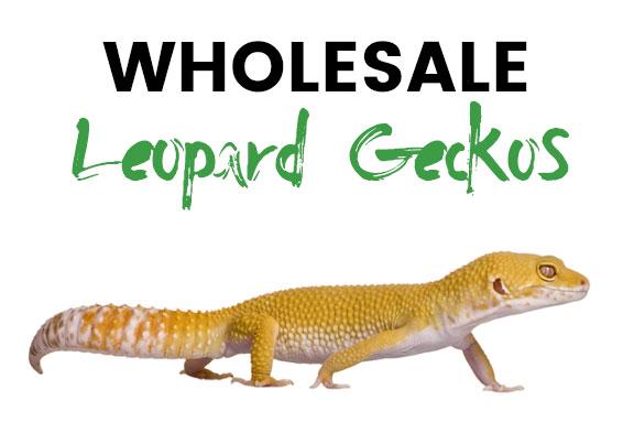 Wholesale Leopard Geckos
