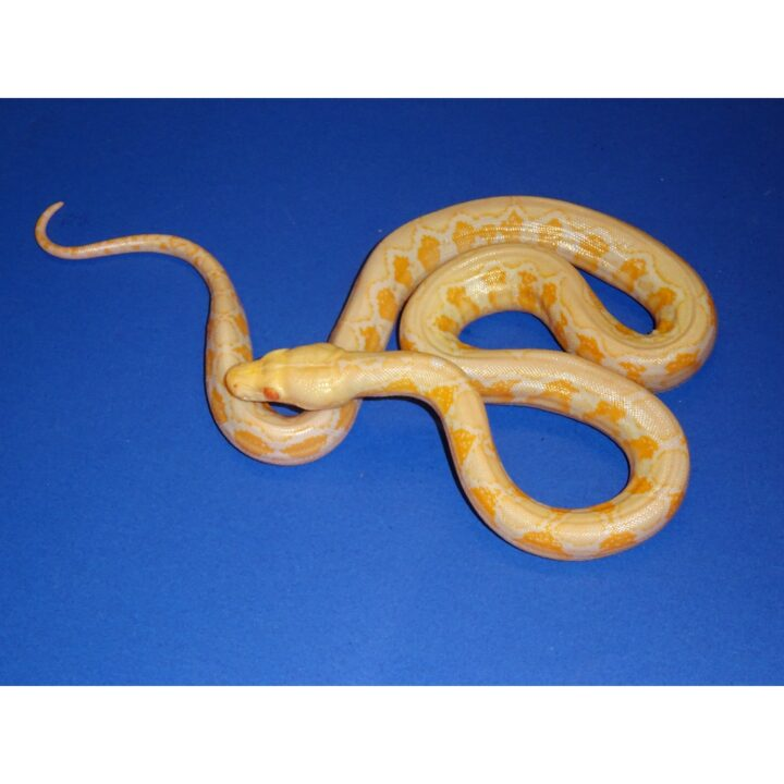 Albino Reticulated Python baby
