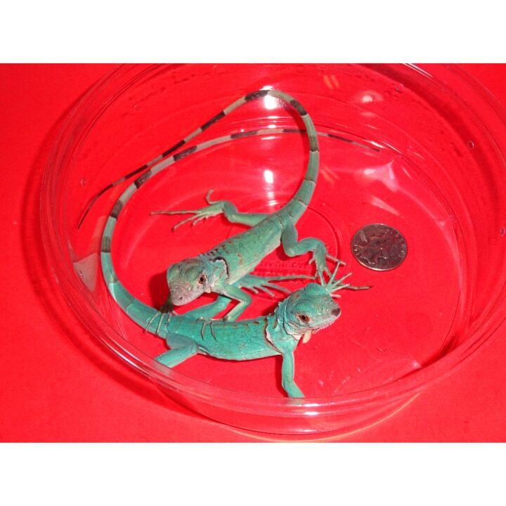 Blue Iguana hatchling