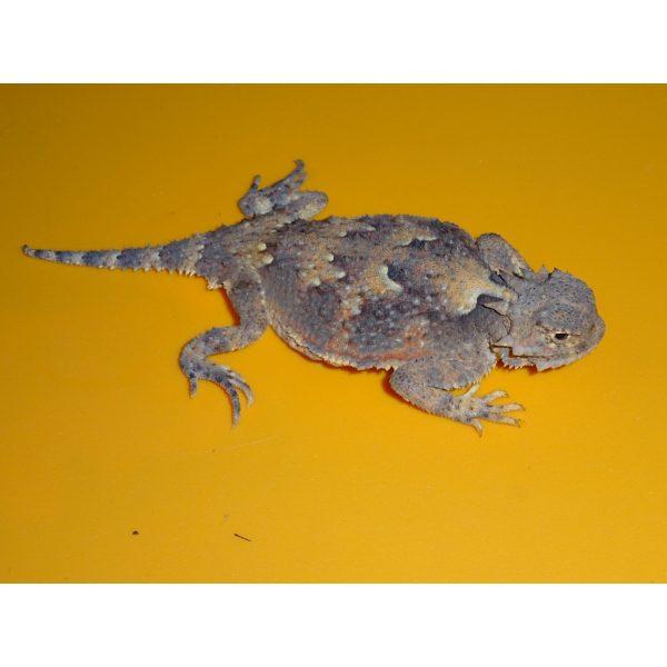 Desert Horn Toad