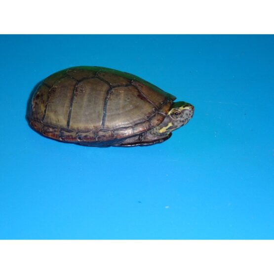 Eastern Mud Turtle 2 - 3 inch