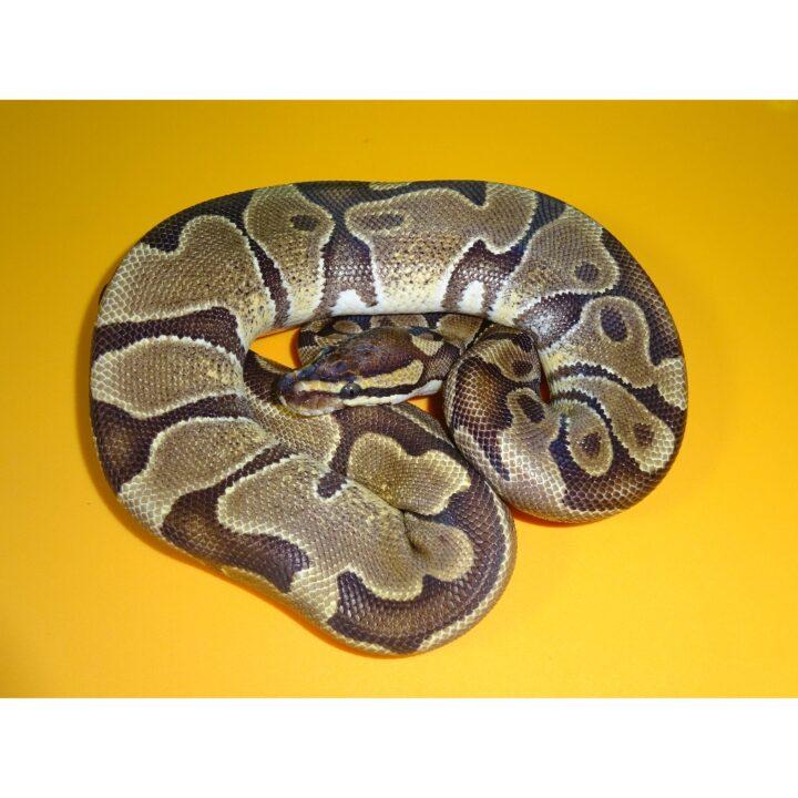 Enchi female 450g