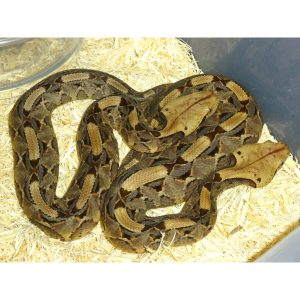 Gaboon Viper babies