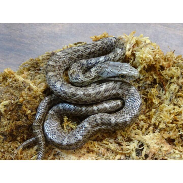 Japanese Rat Snake baby