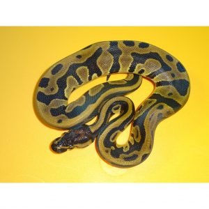 Leopard Ball female 125g