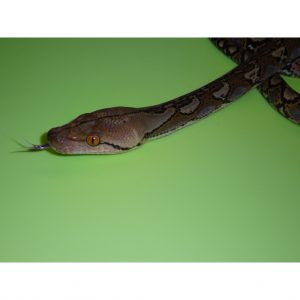 Reticulated Python baby