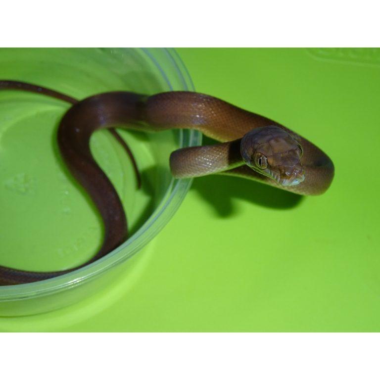 Tanimbar Amethystine Python baby