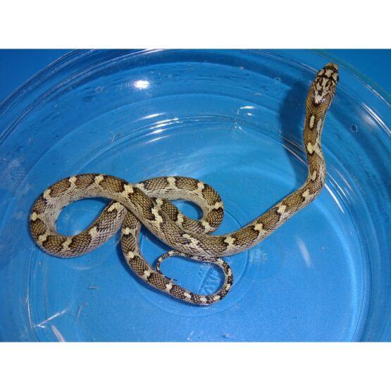White Sided Black Rat snake