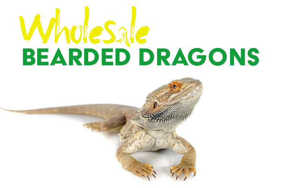 Wholesale Bearded Dragons - Strictly Reptiles