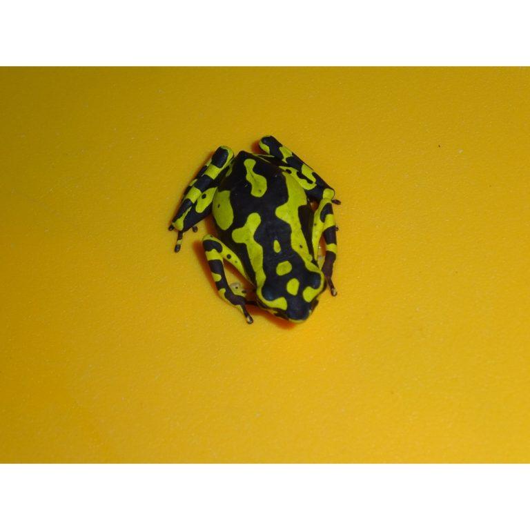 Yellow Atelopus