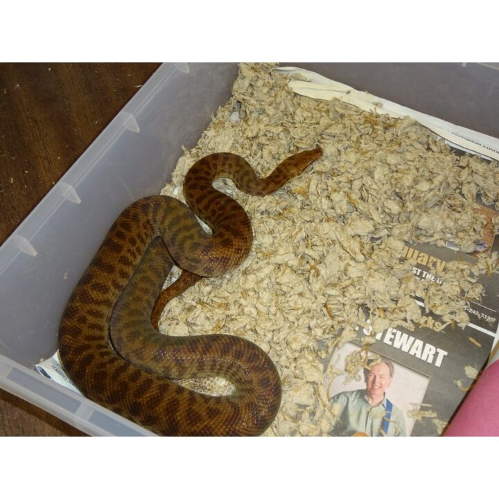 Children's Python adult