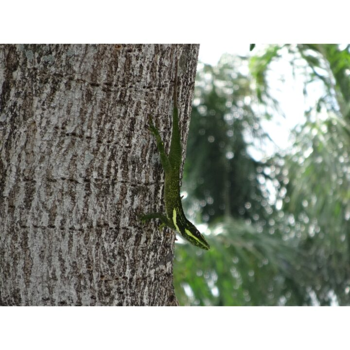 Cuban Anole on tree