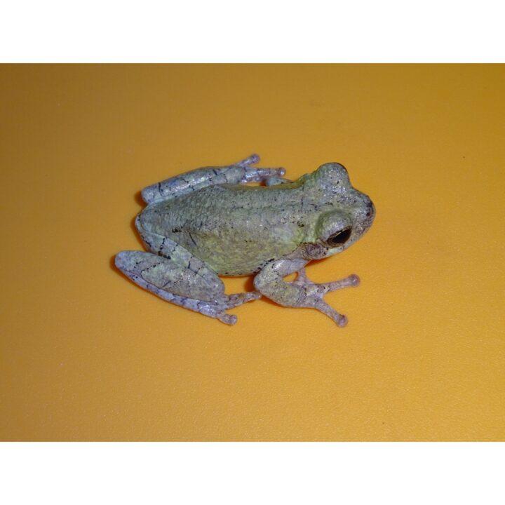 Gray Tree Frog side veiw