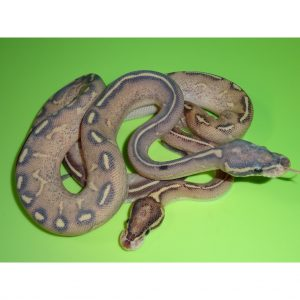 Highway Ball Python juvenile pair