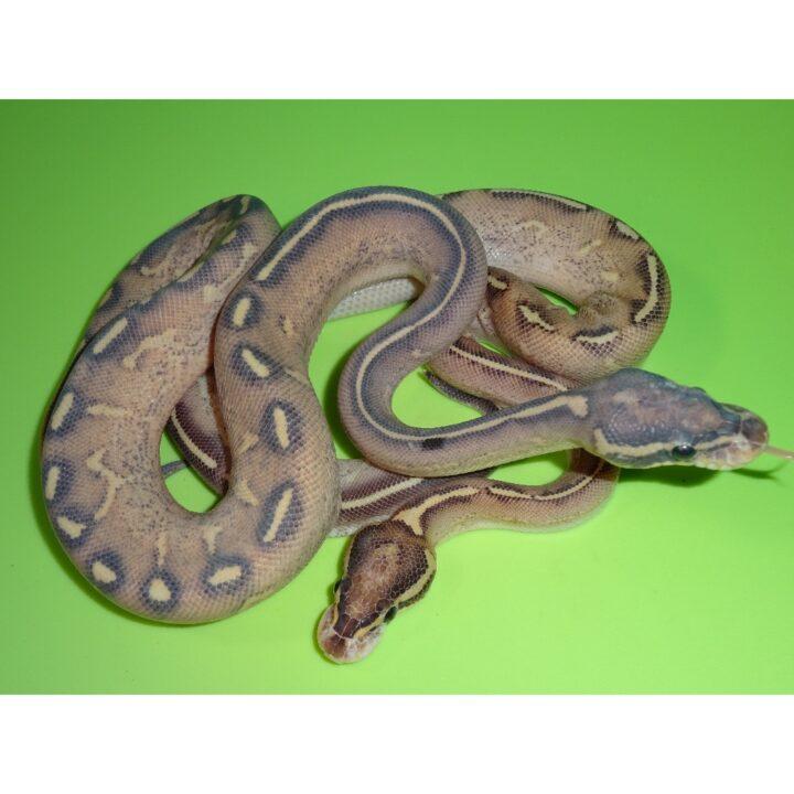Highway Ball Python juvenile pair