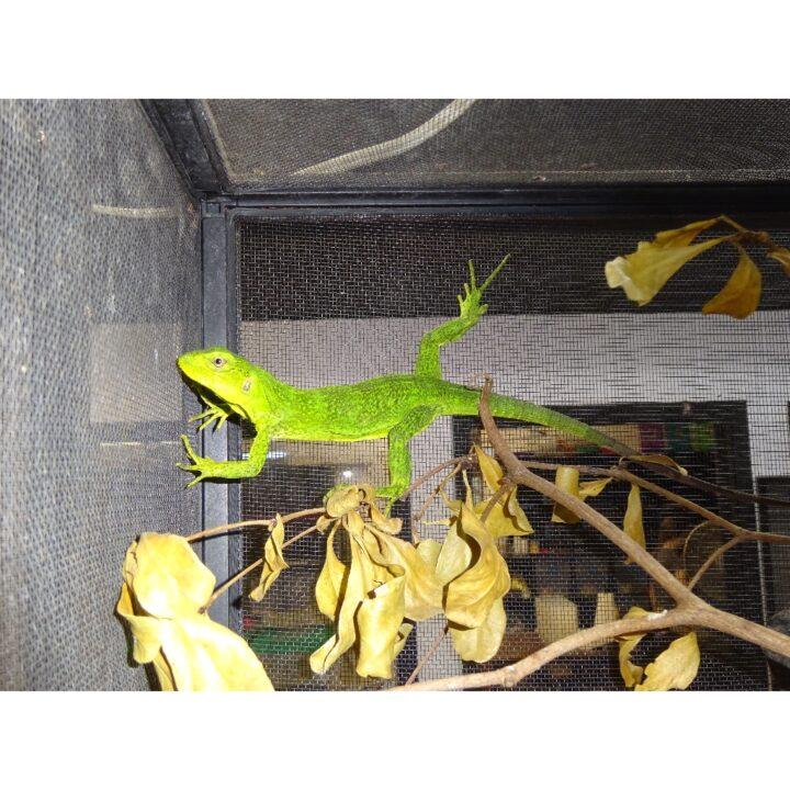 Mexican Spiny Tail Iguana full body juvenile