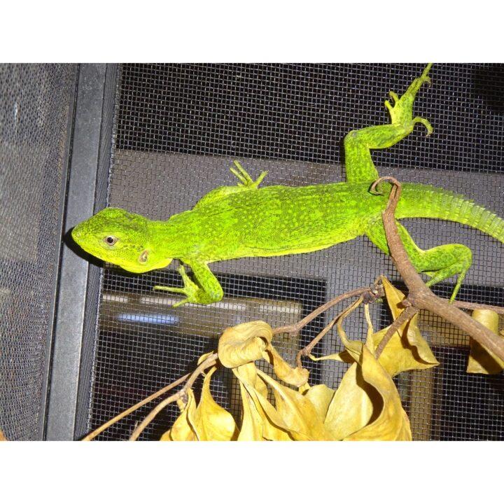 Mexican Spiny Tail Iguana juvenile