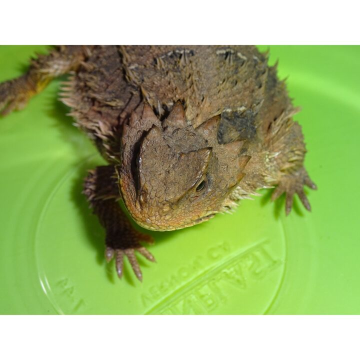 Plateau Horn Toad Lizard shoulders