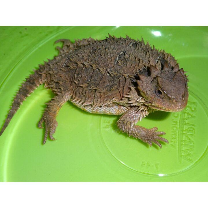 Plateau Horn Toad Lizard