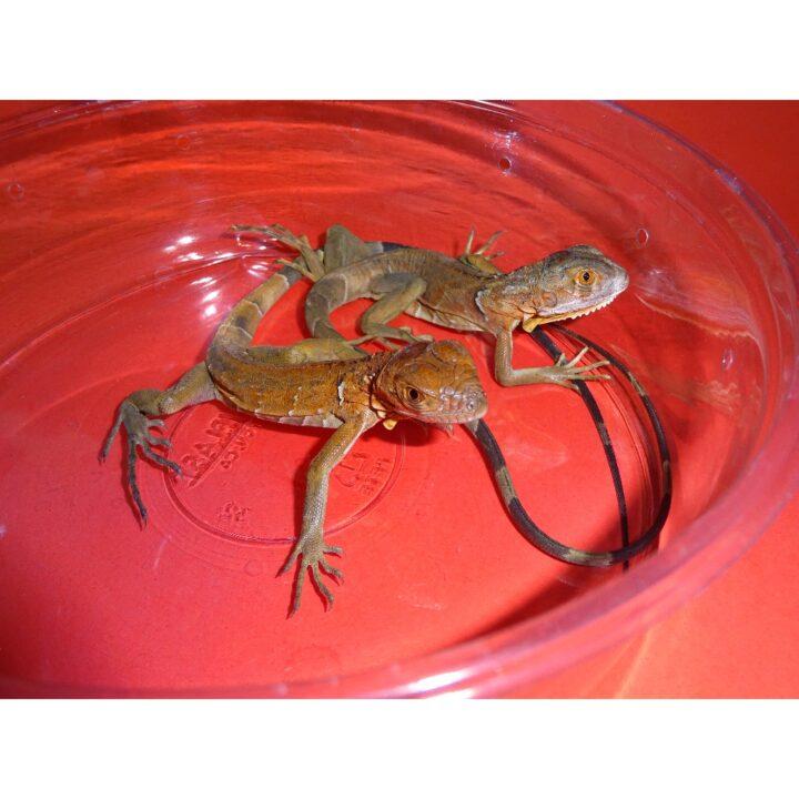 Red Iguana baby