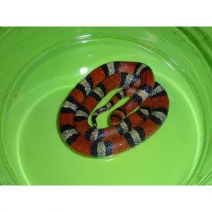 Scarlet Snake adult