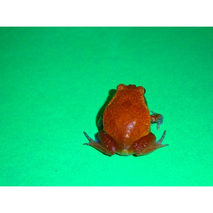 Tomato Frog small back side
