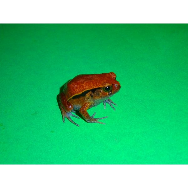 Tomato Frog small right side