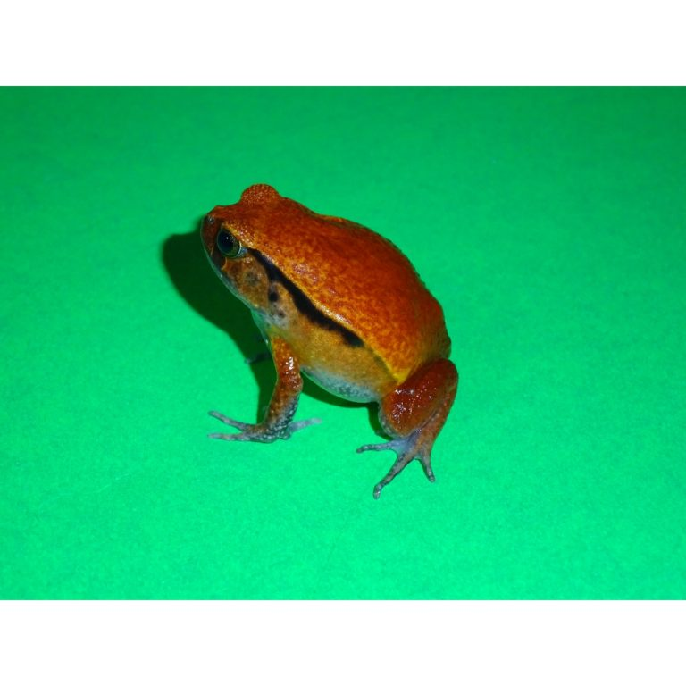 Tomato Frog small