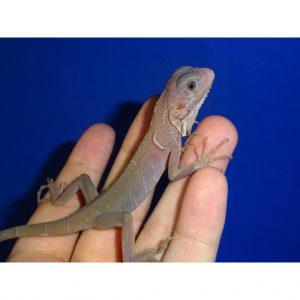 Translucent Iguana baby