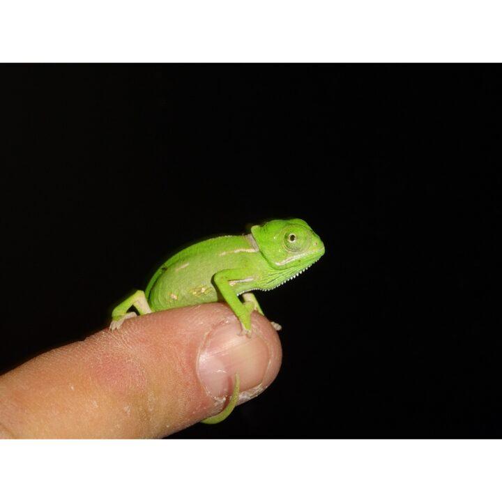 Veiled Chameleon hatchling